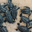 See baby Turtle Hatchlings